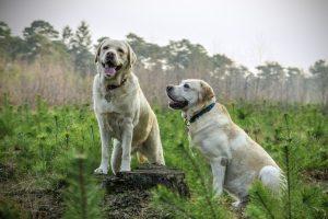 labrador, breed, dogs